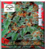 Dutch Passion Orange Bud Female 5 Seeds